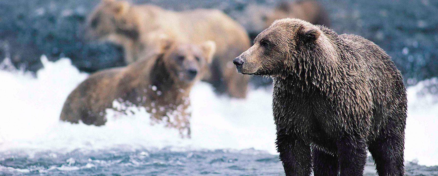 Bear in water
