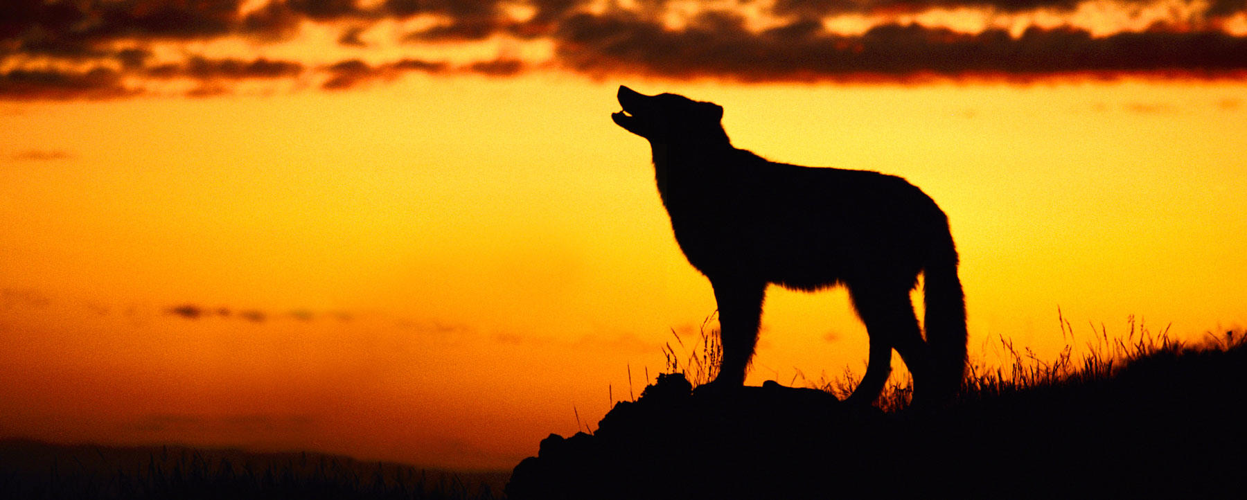 Howling wolf at sunset