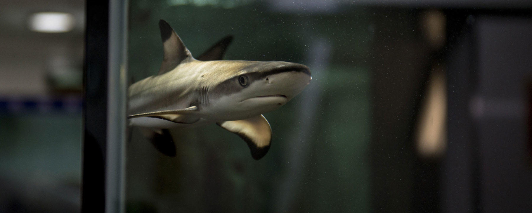 A juvenile blacktip reef shark swims in a water tank at a seafood market in Hong Kong