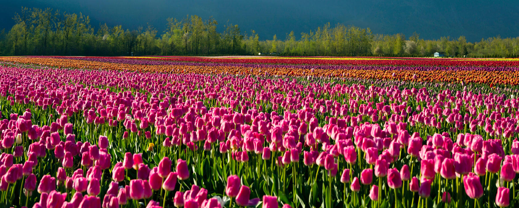 Cultivated Tulip Field in Fraser Valley, British Columbia
