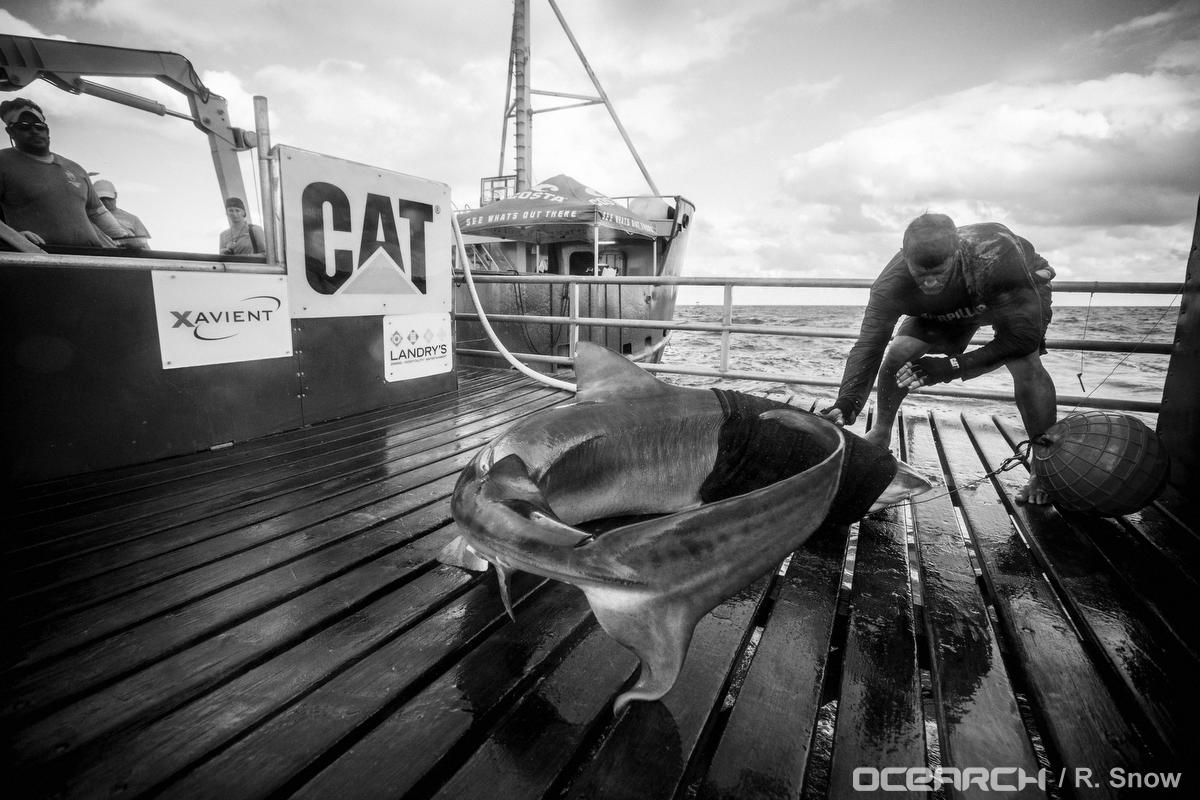 Finley the Shark on OCEARCH's deck being humanely tagged