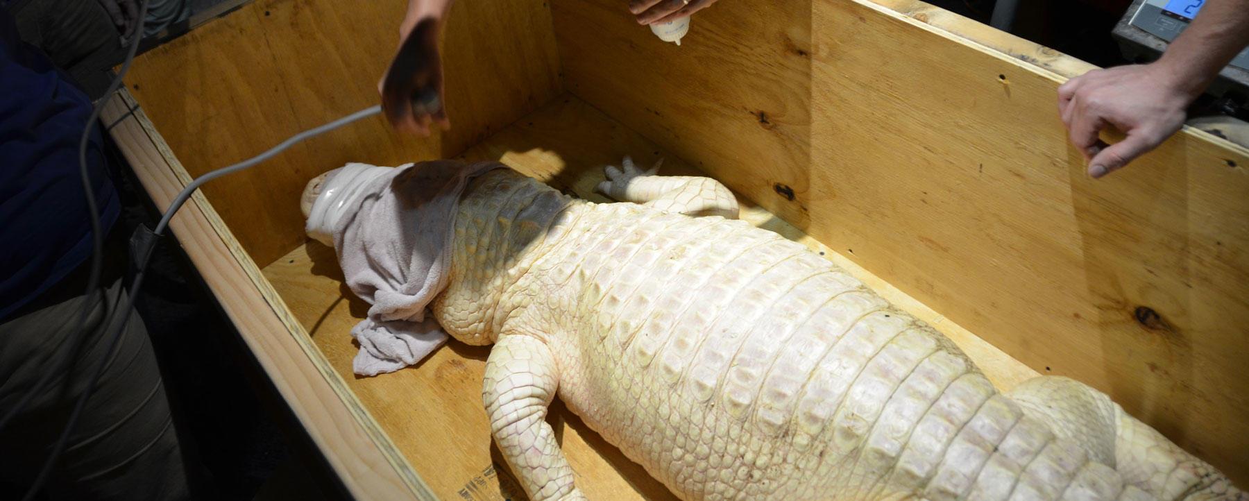 Alabaster, the Affable Albino Alligator