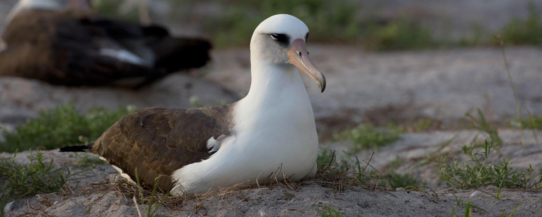 Wisdom, the world's oldest bird