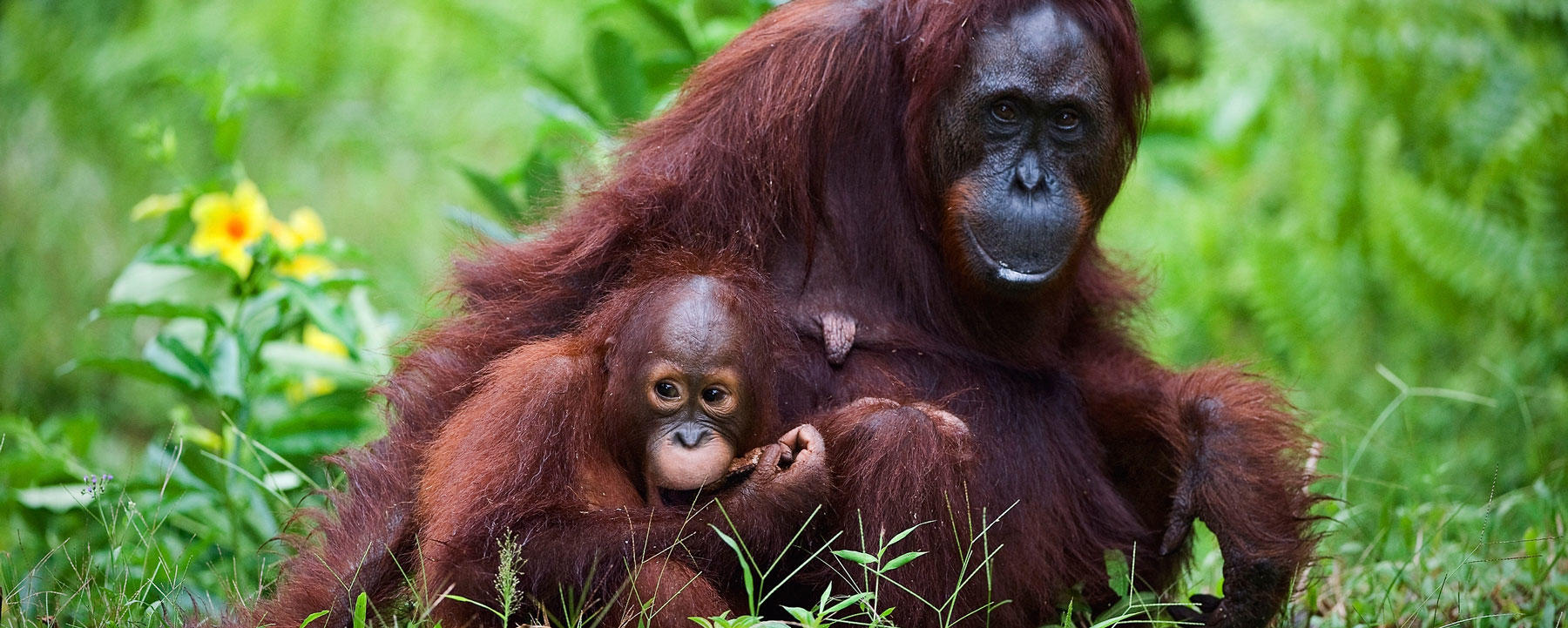 Female orangutan with the baby on a grass