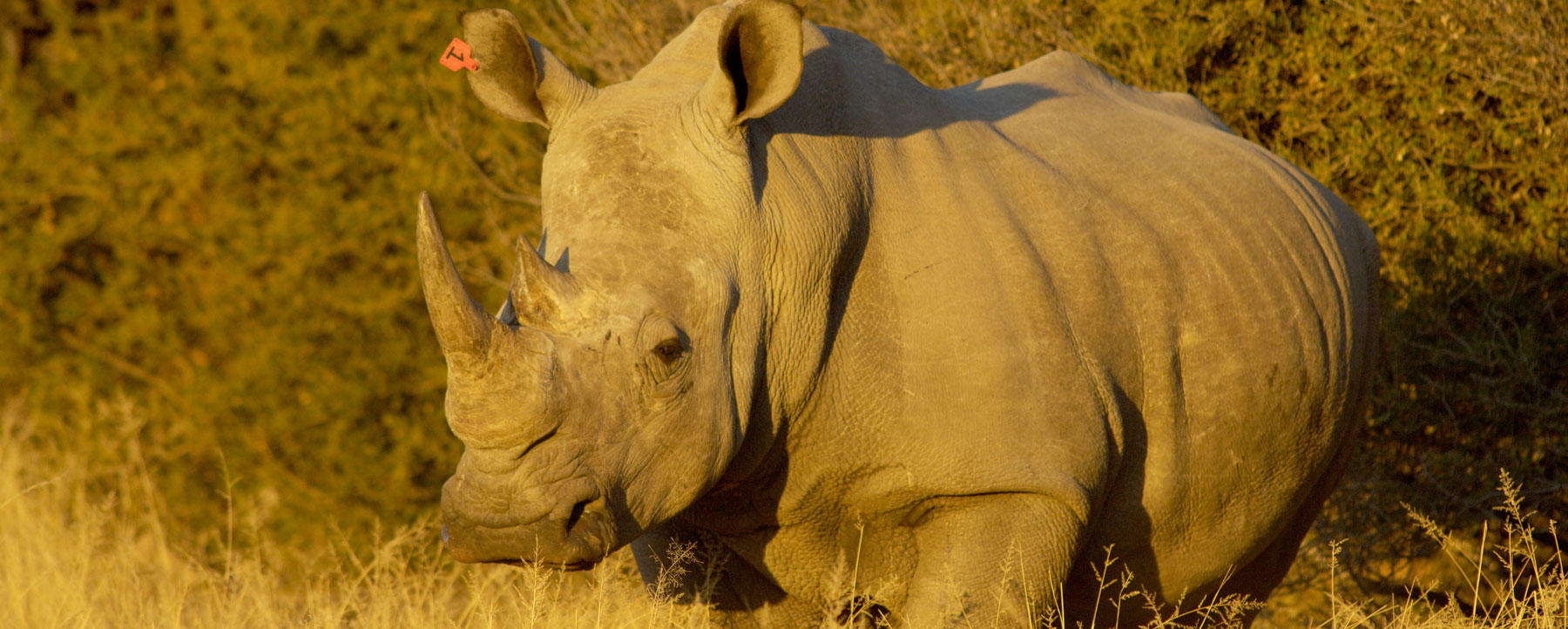 Black Rhino, Clocolan Free State, So. Africa.