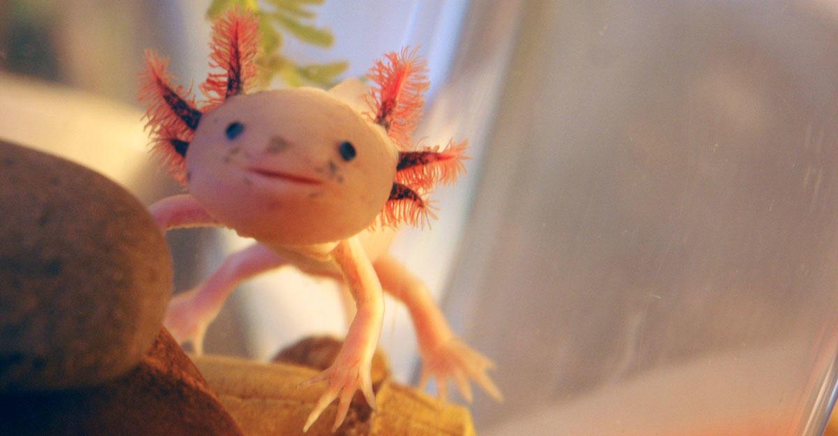 Sandy the axolotl