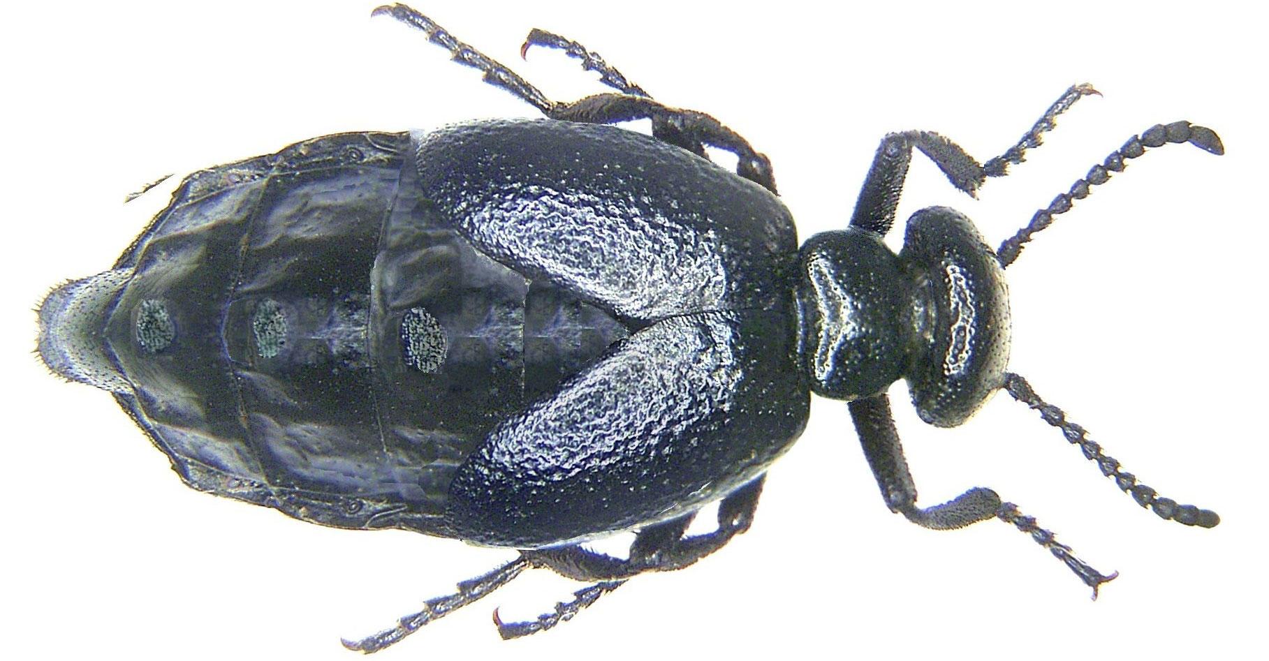Short-necked oil beetle