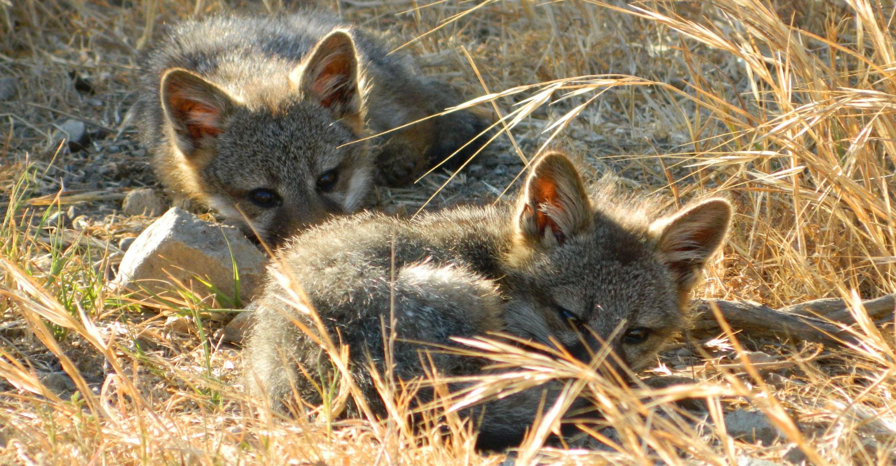 Catalina Island foxes