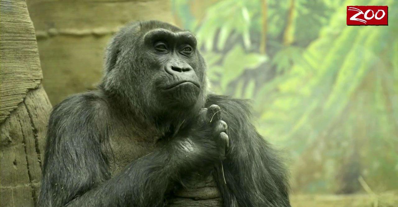 Western gorilla Colo