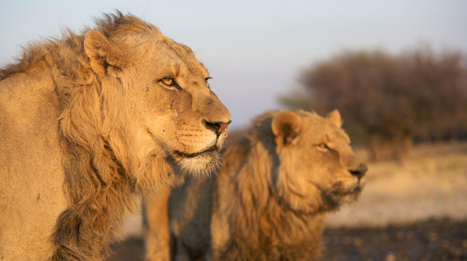 Lion, photographed at Harnas Rehabilitation Centre.