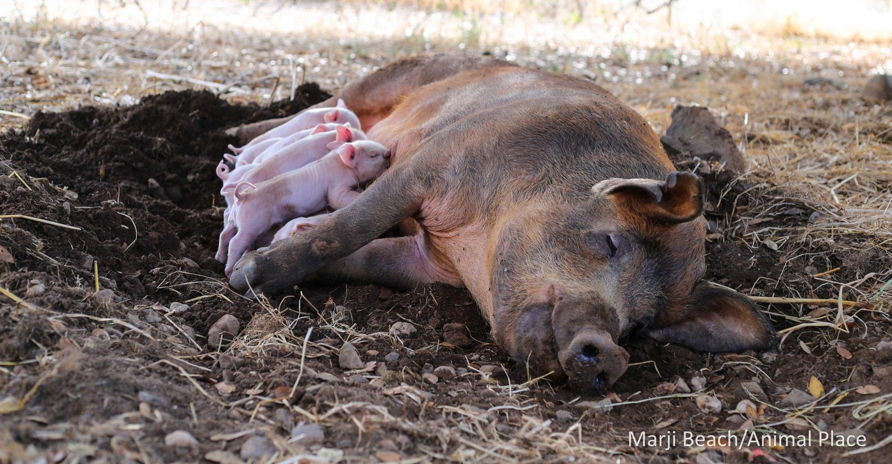 Rita the Pig