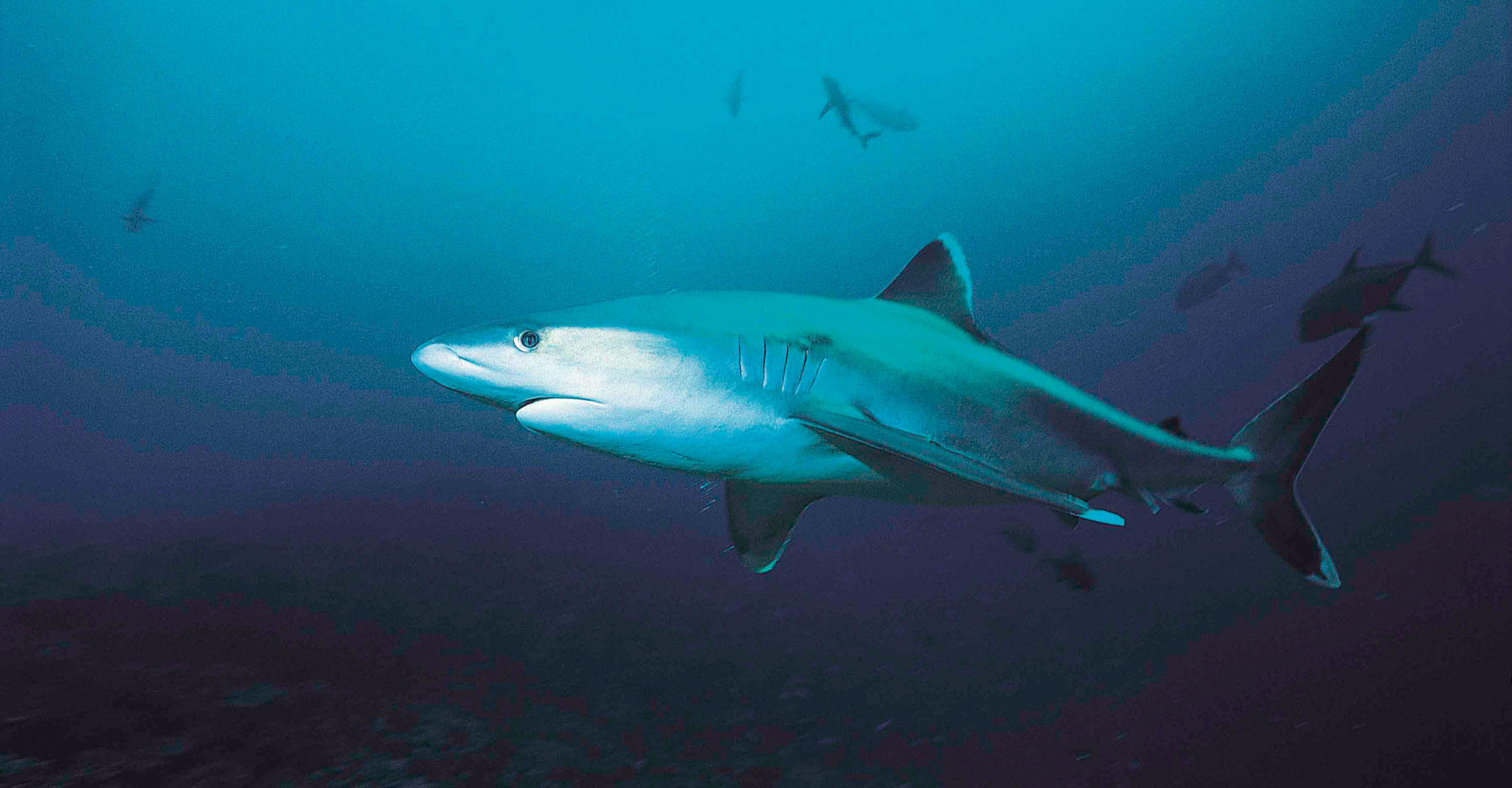 Silvertip shark swims