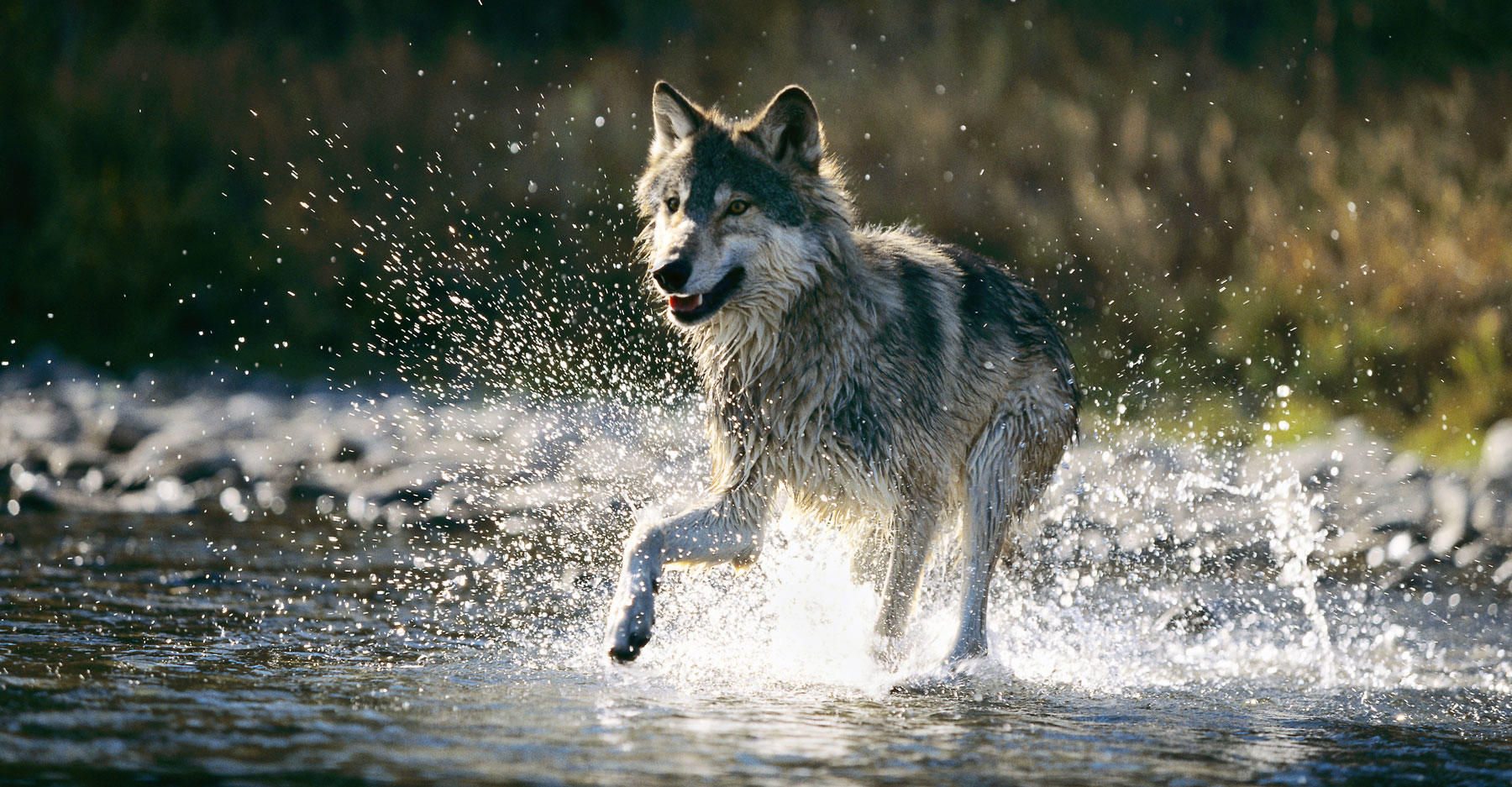 Wolf crossing river