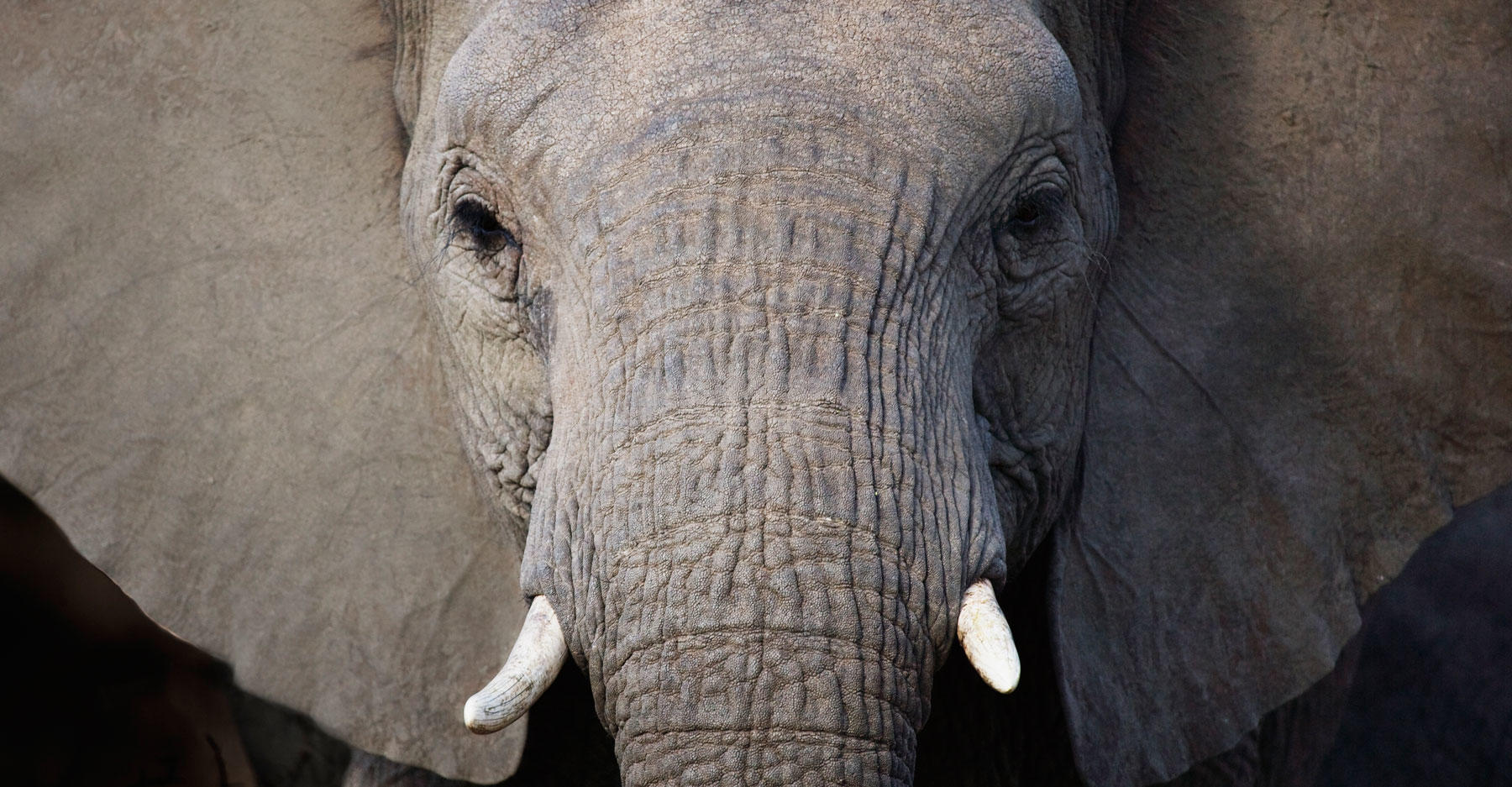 A young female elephant with short tusks in the Kruger National Park in South Africa.