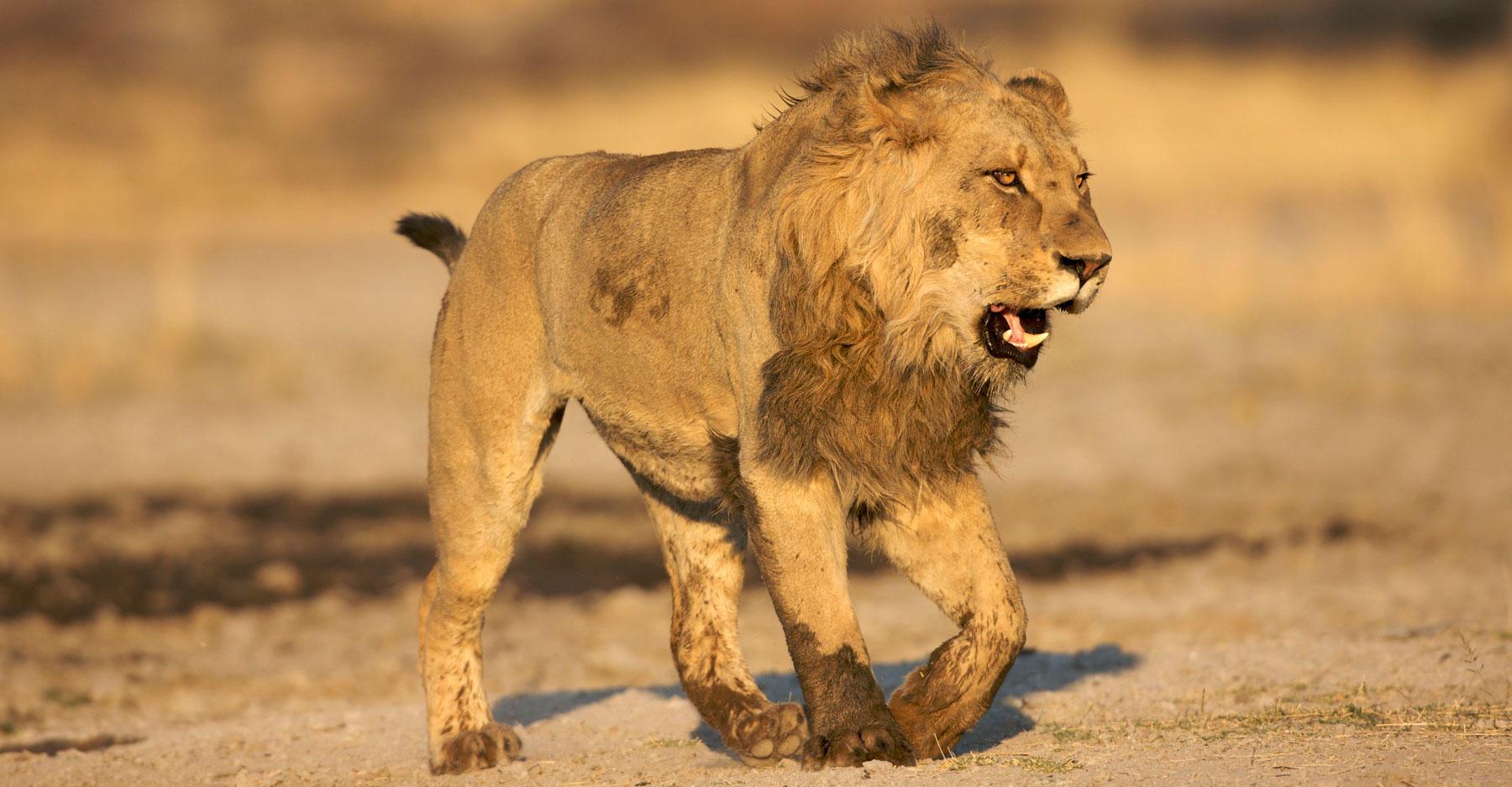 African lion walking