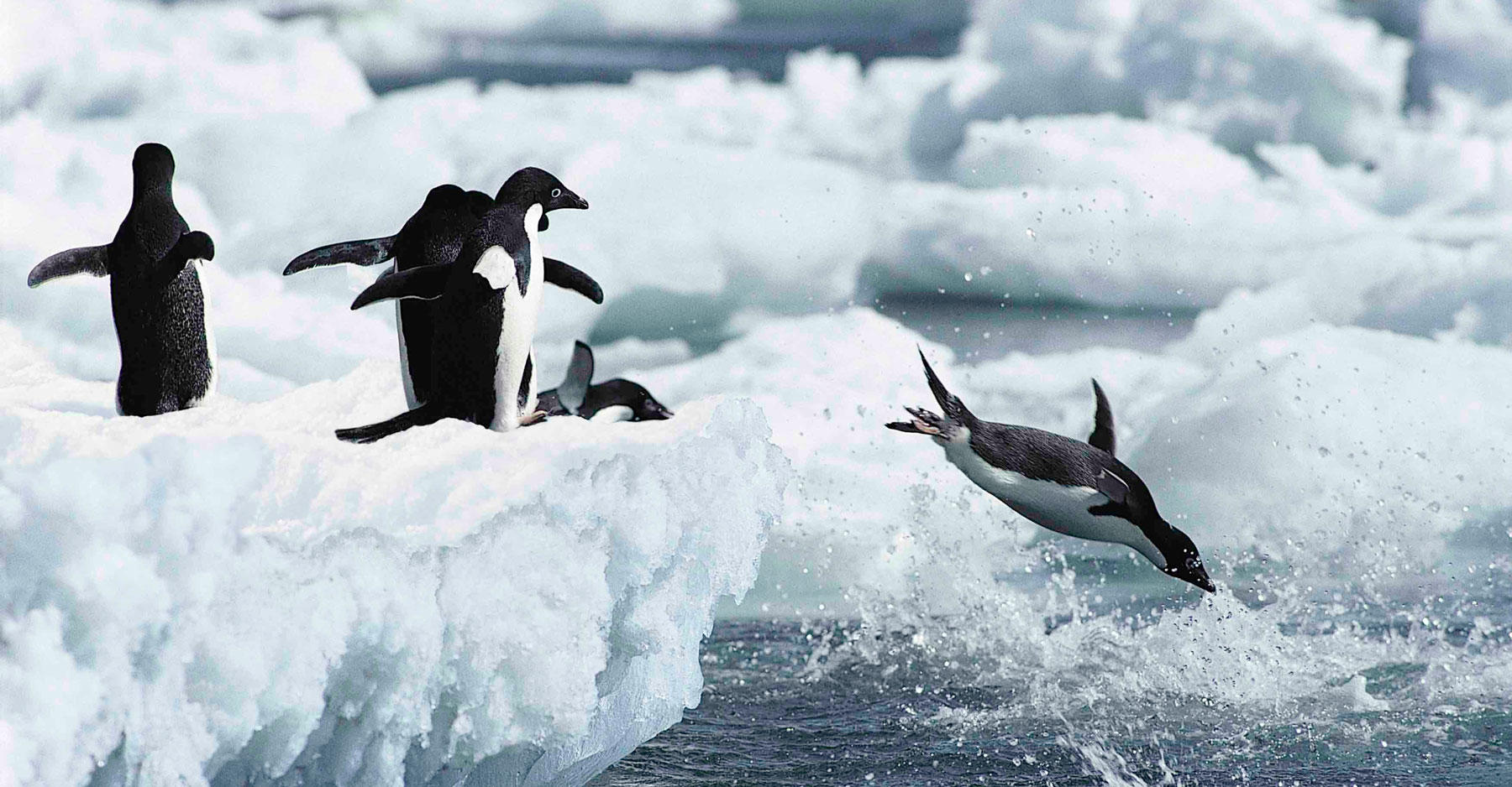 Penguins diving into water.