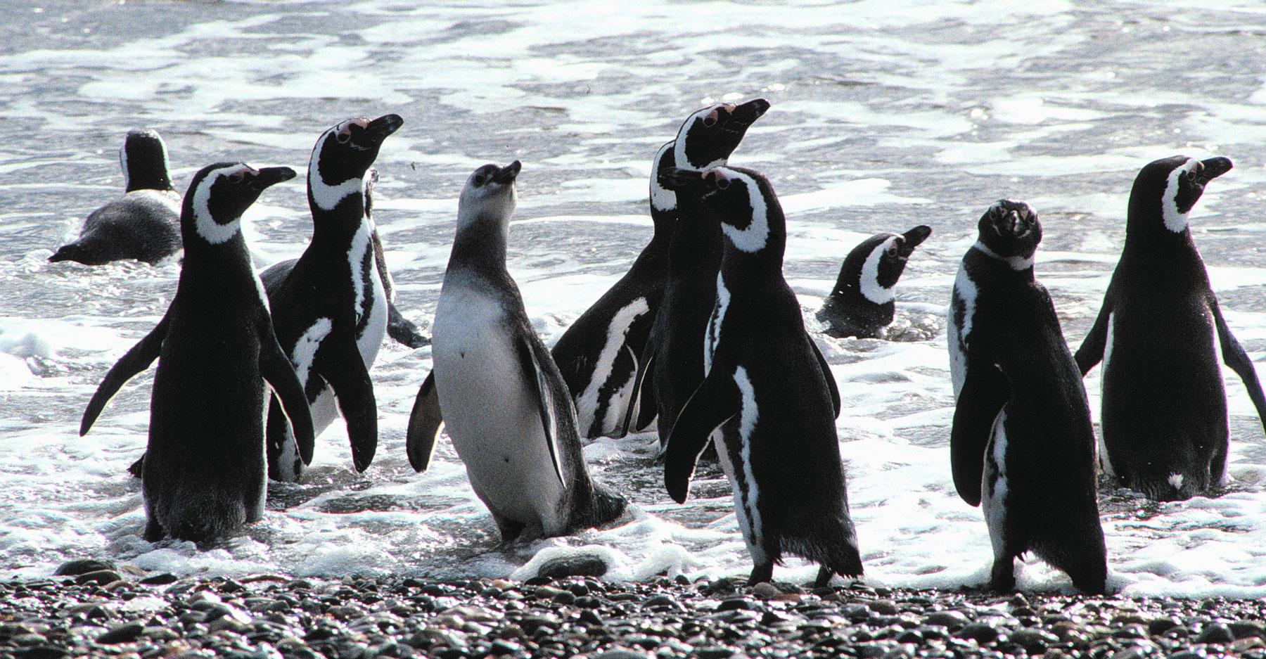 Penguins at the shoreline