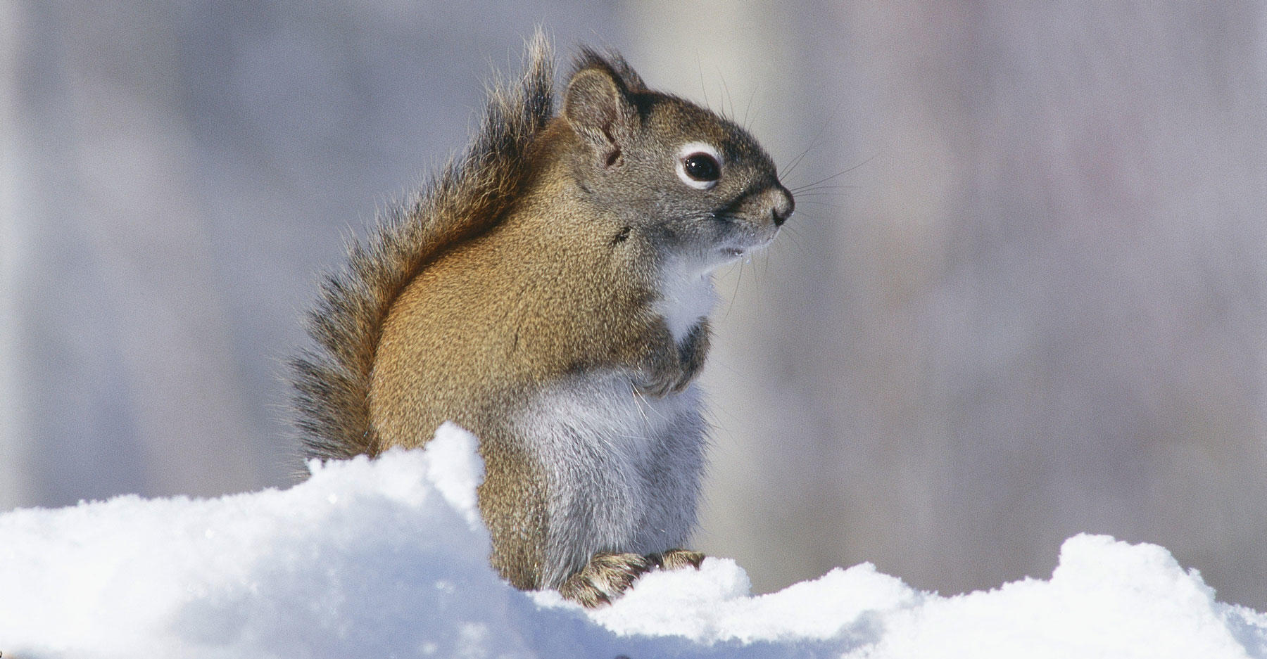 Red squirrel sits on snowy ground. Tamiasciurus hudsonscus.
