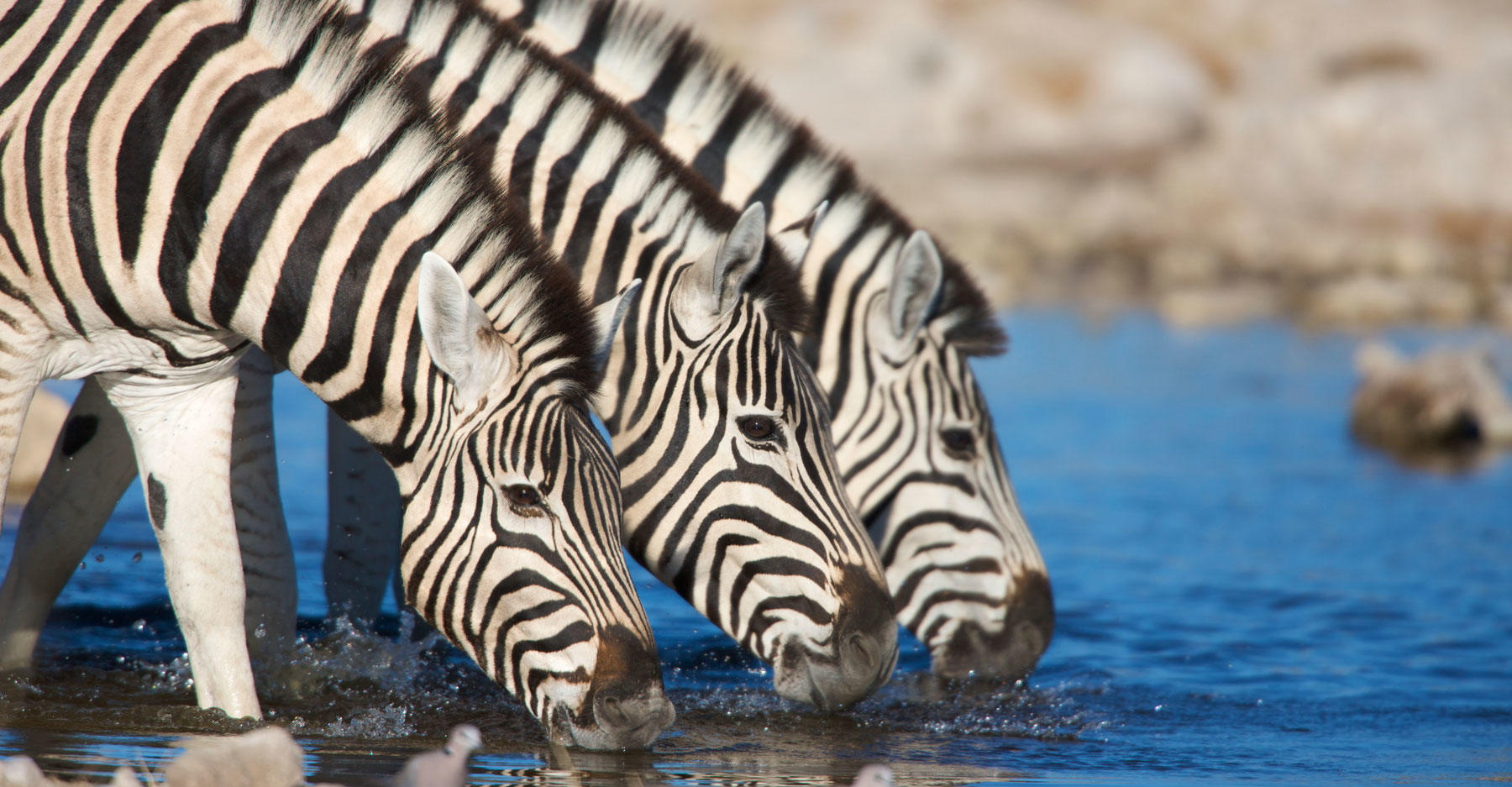 The Plains Zebra (Equus quagga, formerly Equus burchelli), also known as the Common Zebra or the Burchell's Zebra.