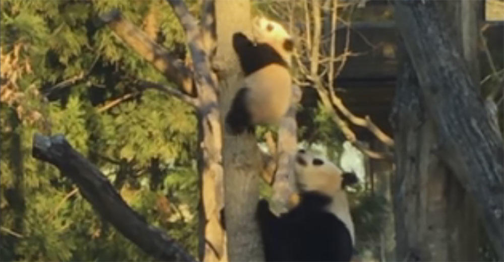Bei Bei climbs a tree