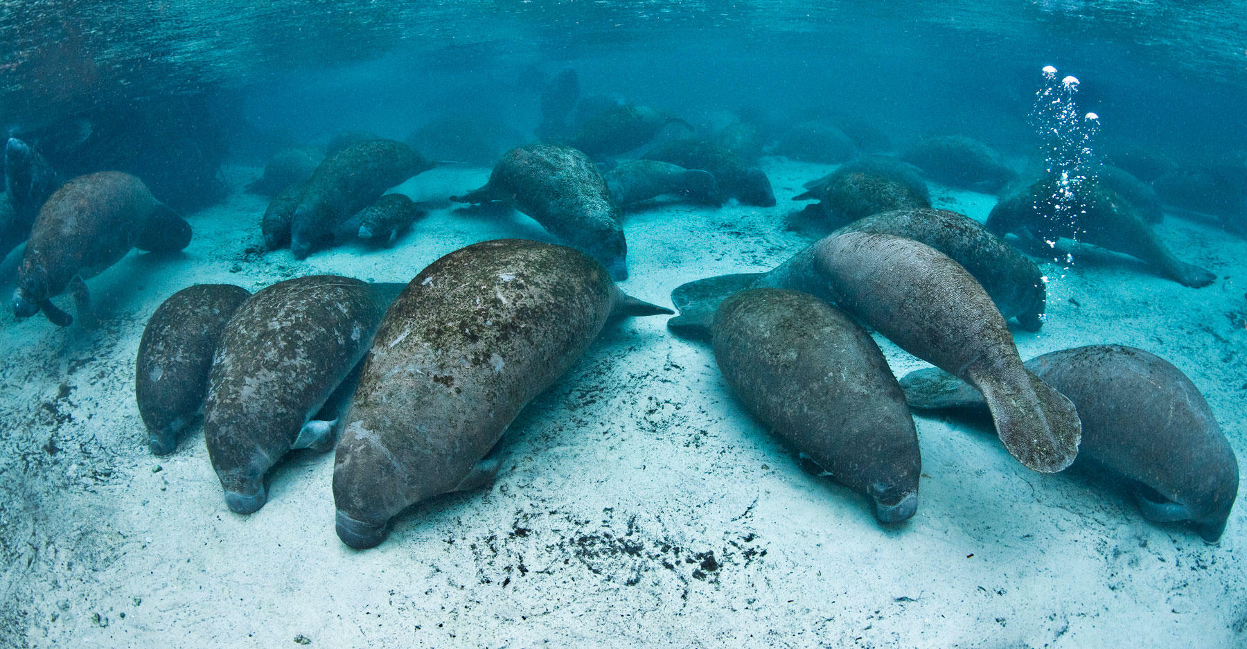 Manatees gather in Three Sisters Spring for the night