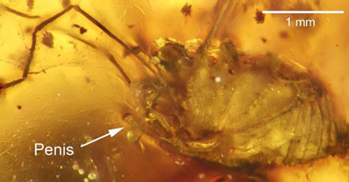 Spider penis in amber