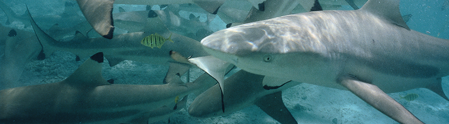 Blacktip Sharks Swimming