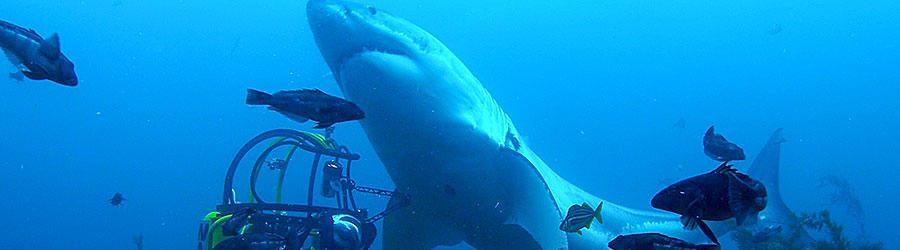 Top 50 Great White Shark Videos