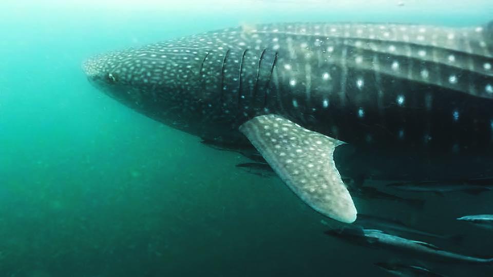 polka dotted whale shark.