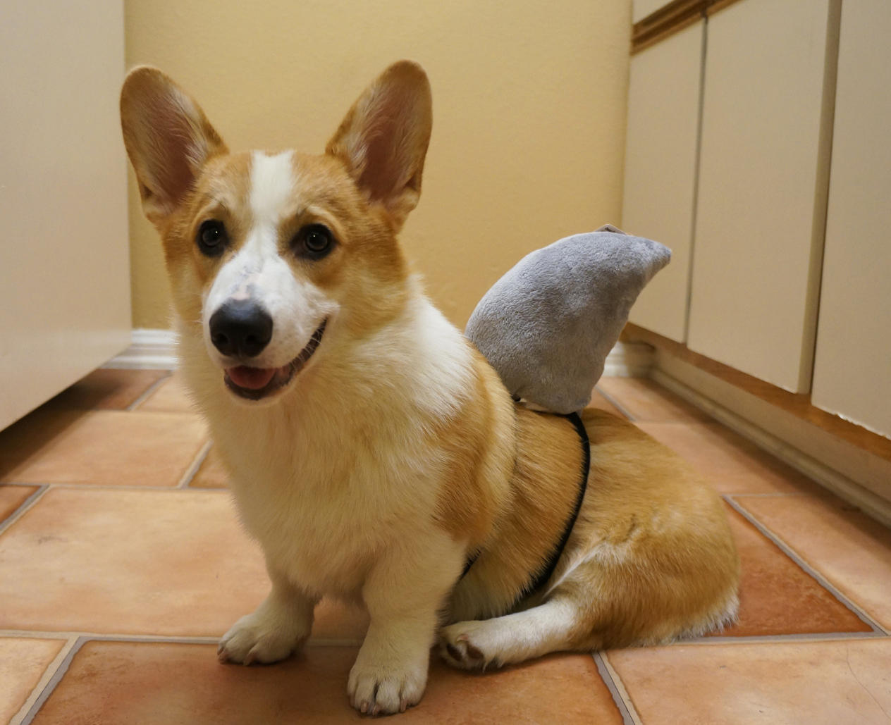 corgnelius_stumphrey-shark