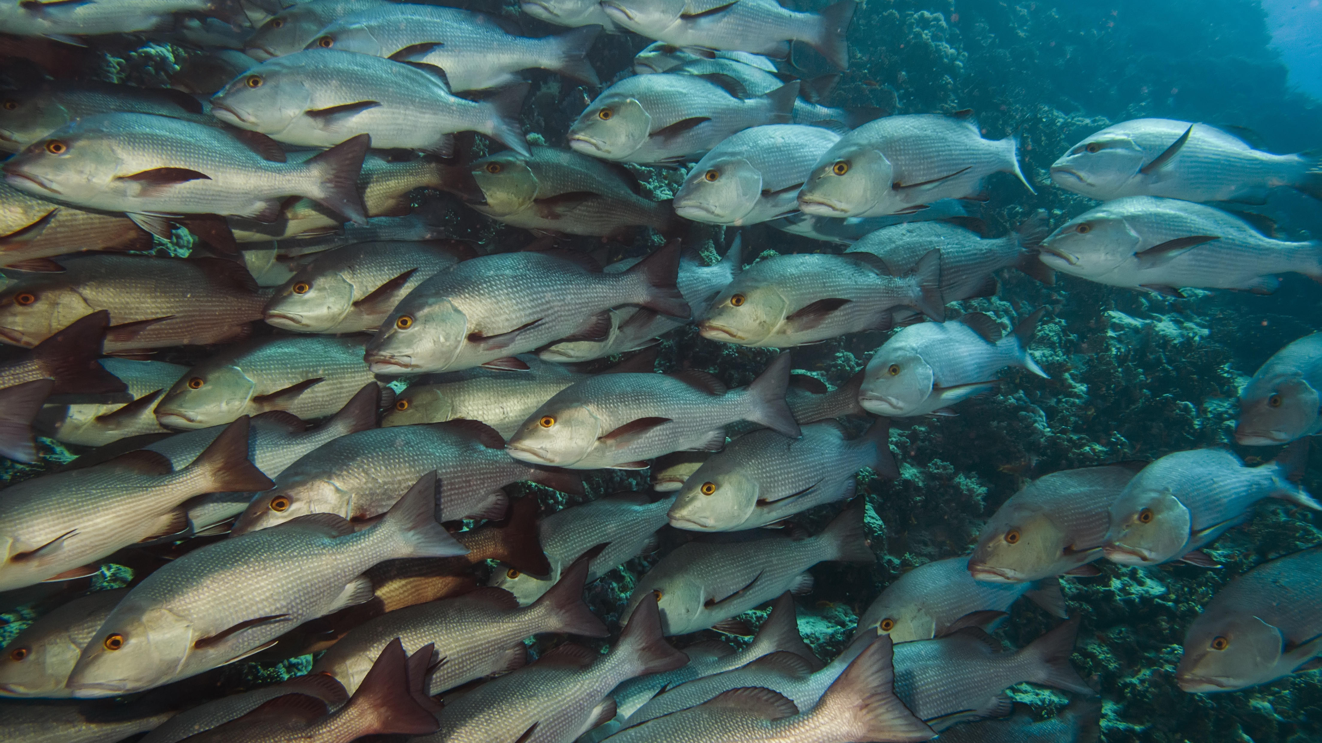 Declining shark populations means fat fish shark week for What are fatty fish