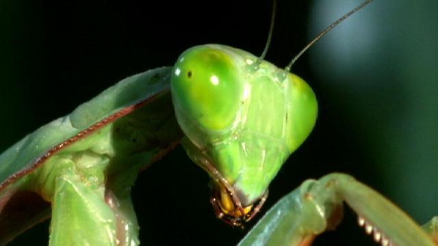Giant Mantis Monster Mantis | Monster Bug Wars