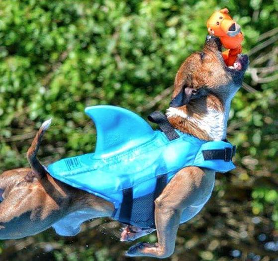 dog dressed as a shark