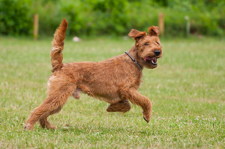 Called the daredevil of dogdom, the Irish terrier is brash, bold, assertive, playful, inquisitive, independent, strong-willed and ever ready for action and adventure.