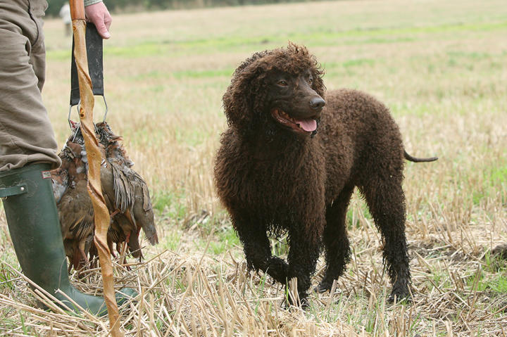 The Irish water spaniel goes at everything in life with gusto and enthusiasm. It loves to swim, run, hunt and play and needs a lot of exercise.