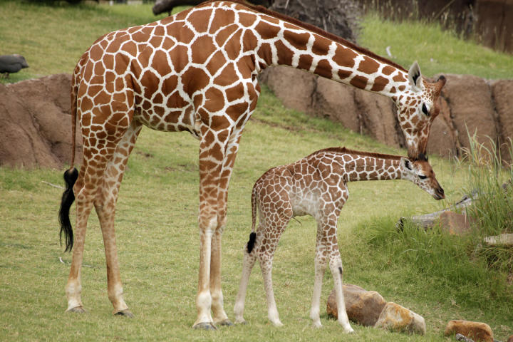 Giraffe Live Birth