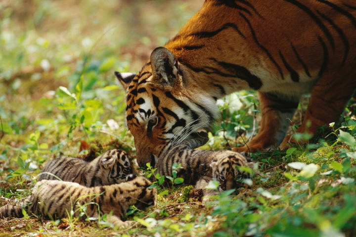 mother tiger with cubs