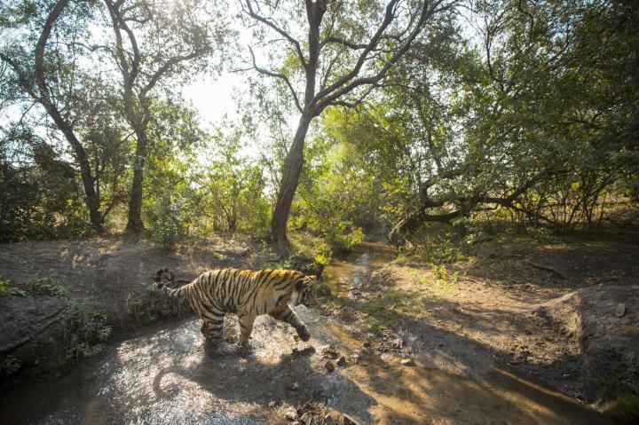 tiger crosses creek
