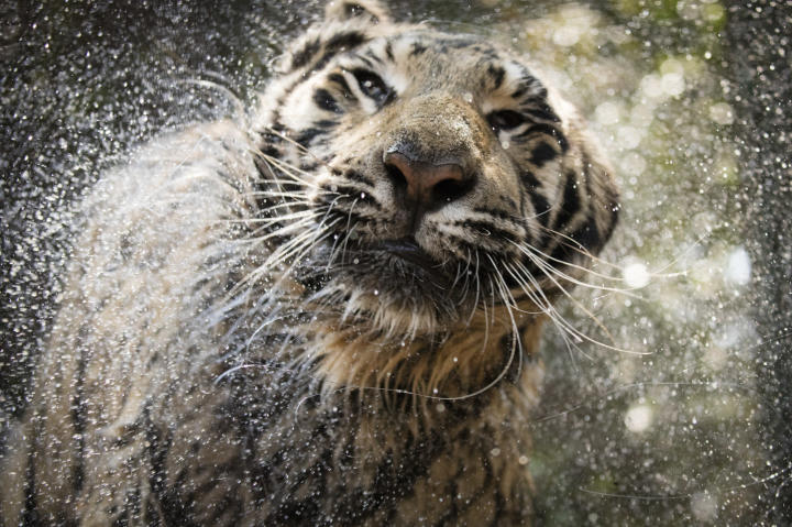 tiger shakes water off