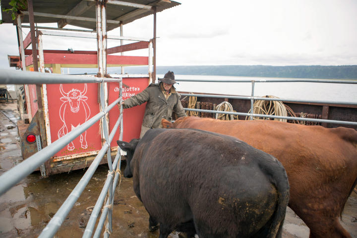 Mark pens in the bulls as they get ready to be offloaded and led ashore on the other side of the bay. The new cattle will provide a new genetic line, which is crucial for the long term health of the herd.
