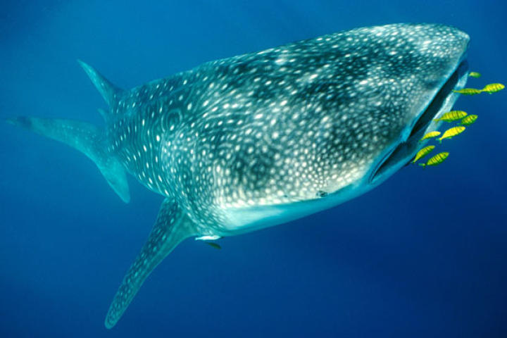Whale Shark (Rincodon typus) prepares to consume Golden Trevally.