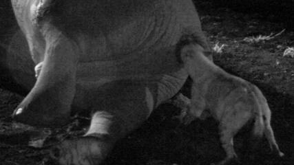 Elephant Eating a Stick Elephant Hyena Sticks Head in
