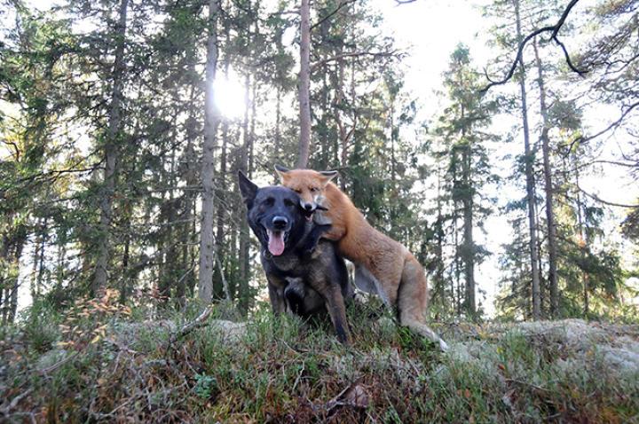 fox-hound-01