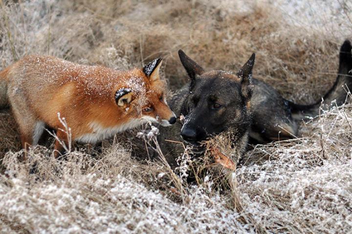 fox-hound-02