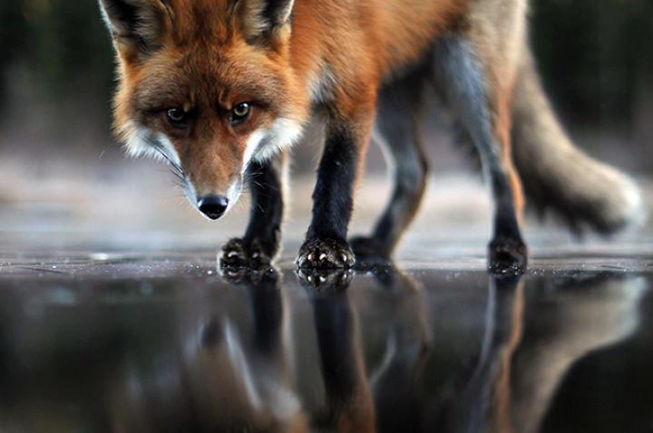 fox-hound-03