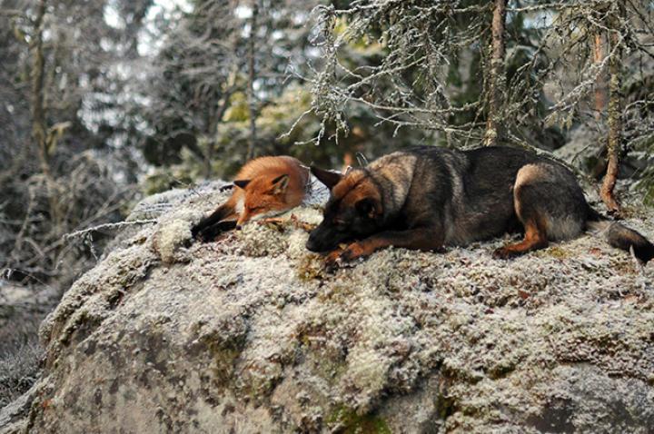 fox-hound-04