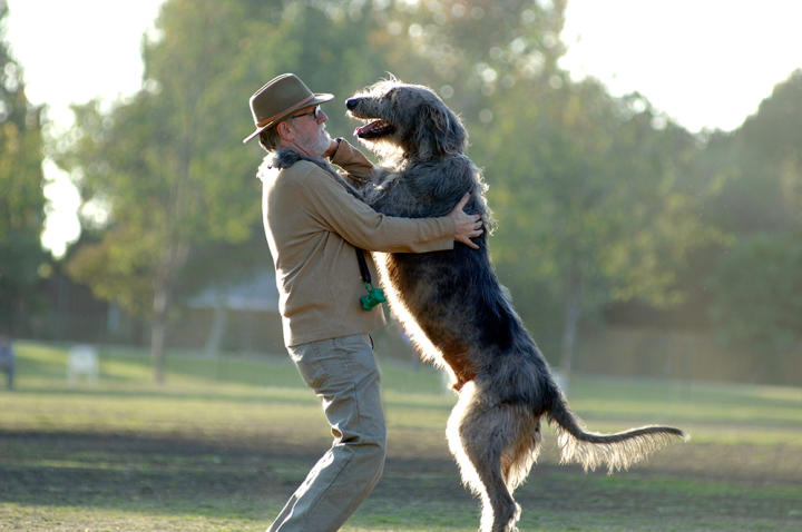 Aptly known as the gentle giant, the Irish wolfhound is a soft-natured, easygoing breed.