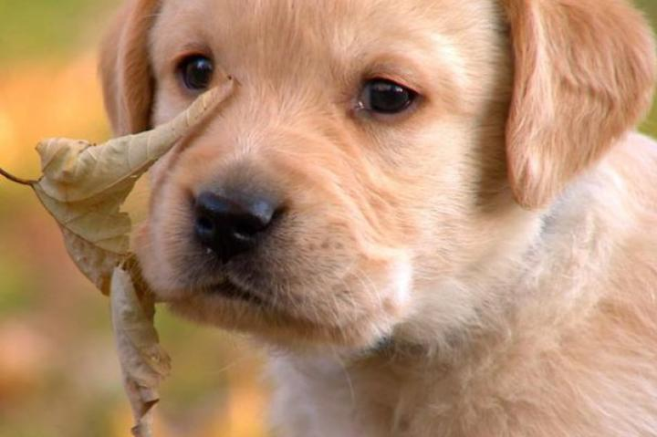Another of the Labrador Retriever puppies learns about the great outdoors.