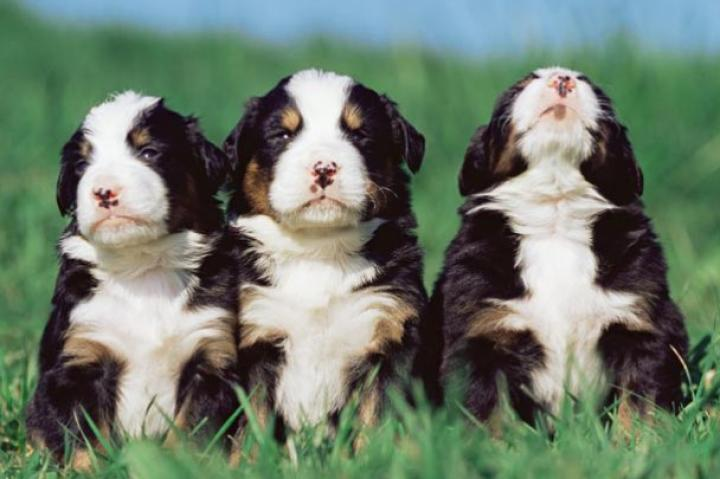 Three fluffy puppies in a row.