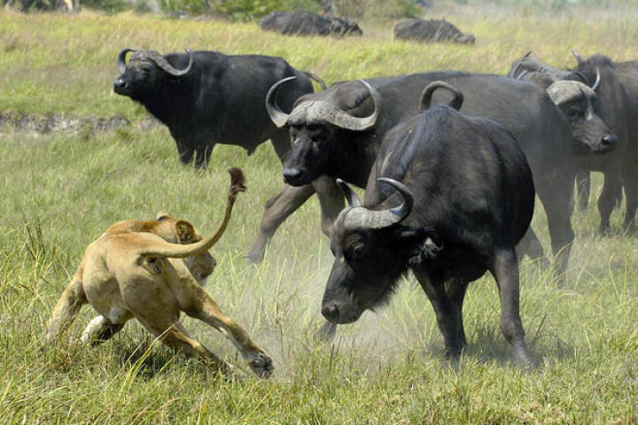 Although they do not have many natural enemies, Cape buffalo are capable of defending themselves against lions.